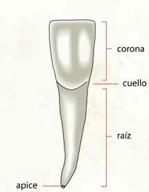 Dibujo de un diente