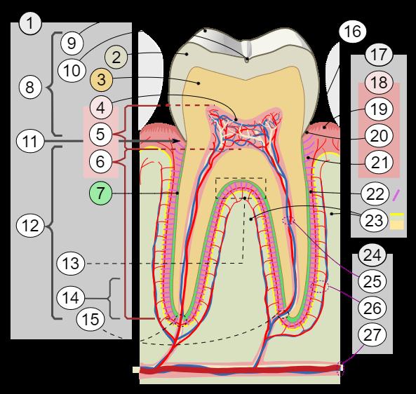 Dibujo del interior de un diente